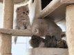✳️ 3 britishs longhairs 2 lilacs et...