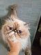 Manifique  chaton persan