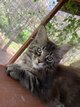 Chaton Maine Coon disponible