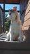 Superbes chiots husky