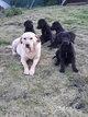 Chiots Labrador Pure race