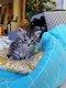 Splendide chaton croisés Main Coon