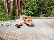 Jeunes hamster doré