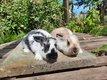 Jeunes lapins de couleur