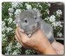 Jeune mâle violet rpac, 67 % bdc