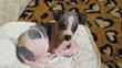Magnifiques bébés hairless terrier (chiens sans...