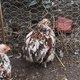 Poule Pekin Coq Pekin / poule soie noire