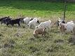 Jeunes chèvres naines