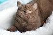 Superbes chatons highland fold et...