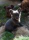 Superbe  chihuahuas poils long