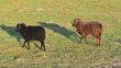 Mouton mâle d'Ouessant