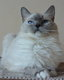 Femelle Ragdoll blue point mitted