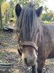 Ponette Shetland 6ans - 80cm