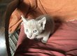 Chatons orientaux