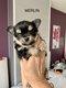 4 chiots Chihuahuas à poils longs