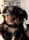 Magnifique chiot mâle Yorkshire terrier mini