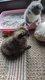 Chatons scottish et British Longhair magnifiques