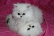Magnifiques chatons black silver shaded