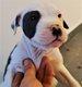 American Staffordshire Terrier bleus