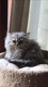 Magnifiques chatons persans à céder