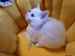 British Shorthair blanc