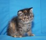 Chatons persans et  exotic shortair