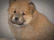 Adorables chiots Berger Ecossais (lassie)