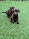 Chiots Chocolate et noire labrador (parents...