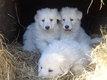 Chiots bergers blancs suisse pure race À réserver