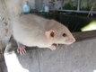 Jeunes rats dumbo différents coloris