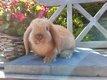 Jeunes lapins nains bélier tête de lion