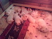 Chiots bergers blancs suisses à réserver