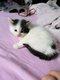 Six chatons Maine Coon croisés magnifiques