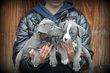 Chiots American Staffordshire Terrier bleu
