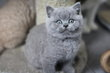Superbes chatons British Shorthair