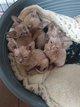 4 chatons Sphynx - champion du monde et d'europe