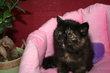 Magnifique demoiselle Exotic black tortie