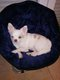 Chihuahua poils long