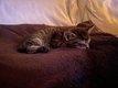 Magnifique chatons Maine Coon