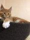 Un adorable chaton Maine-Coon pédigrée