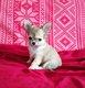 Adorable Chiot chihuahua male charbonné poil long
