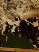 Magnifique border collie né le 14 janvier