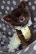 Chihuahua mâle poils long à réserver