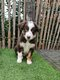 Chiots Border collie (parents présents)