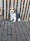Chiots Beagle avec parents présents