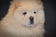 Chiots Chow Chow beige