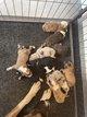 Bébés croisés berger australien