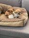 Croisé Bichon-Chihuahua