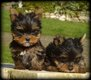 Chiots Yorkshire Terrier nain (toy)