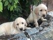 Chiots labrador beige élevés en maison